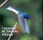 Trinidad Humming Bird copyright M. Timothy O'Keefe - www.GuideToCaribbeanVacations.com